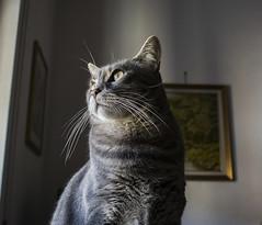 Gibson (krilu13) Tags: cat cats gatto gatti felino animali