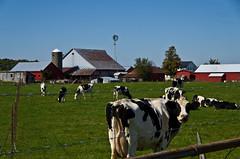 Hello (ramseybuckeye) Tags: cows amish farm windmill barn hardin county ohio pentax life holstein