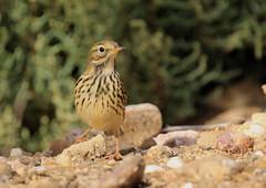 Pipit Farlouse (m-idre31 - 5 millions de vues merci) Tags: bird gruissan aude pipitfarlouse