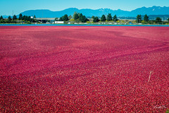 Cranberry harvest  (T.ye) Tags: cranberry  landscape mountain todd ye red river harvest outside outdoor