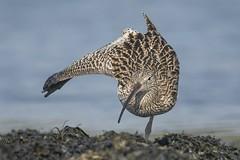 Wulp - Curlew - Numenius arquata (H.Rigters) Tags: hennyr nikon300mmf4 nikond600 strekken stretching water closeup nature natuur vogel bird wulp curlew numenius arquata numeniusarquata