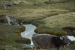 Las tres vacas (cesarpc1975) Tags: vaca prado pirineos espaa ro tres aragn nature water agua naturaleza
