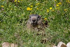Marmotta (Nicola Franzoso Naio) Tags: animal northitaly wild 55250mm canon canon550d marmotta montagna altabadia nature natura woodchuck