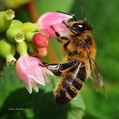 Beees (franbanks1 -( another day balder ) colin banks) Tags: franbanks nature sigma105mm nikon macro insects bees