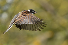 Reed Bunting (4 more shots in comments) (KHR Images) Tags: male bird flying inflight nikon wildlife 300mm nationaltrust f4 cambridgeshire reedbunting wickenfen emberizaschoeniclus d7100 kevinrobson khrimages