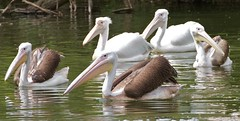 Pelicans (paulgmccabe) Tags: park city wild lake london nature westminster birds pond europe wildlife pelican stjamesspark challengefactorywinner