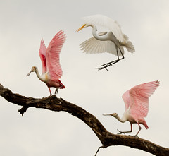 jumping rope (William Miller 21) Tags: nature birds florida wildlife staugustine greategret spoonbills alligatorfarm