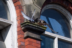 "Peregrine attack (""Clare"") Tags: bird nature pigeon wildlife peregrinefalcon canon1dmark2n canon400prime"