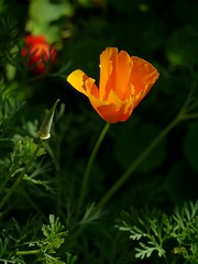 Summer Whispers (Boyd Miller) Tags: orange flower oregon californiapoppy
