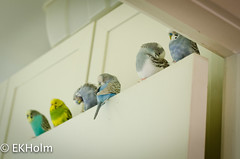 Six in a row (KutuBuku) Tags: pet bird budgie parakeet undulat