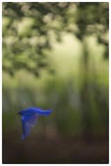 Male Bluebird Blurred  - Day 139 of 365 (jeanne.marie.) Tags: flying spring bur bluebird day139 day139365 3652013 365the2013edition 19may13