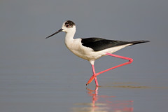 Black winged stilt (Ivan Ellison) Tags: portugal birds canon algarve canon500 canon1dmkiv eos1dmkiv naturecanoneos