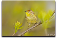 Palm Warbler (BN Singh) Tags: ohio wild bird nature harbor oak wildlife s palm area oh p marsh eastern warbler magee hypochrysea