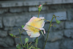 (Lilimic) Tags: flower rose yellow canon leaf gl thorn sar diken