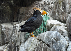 Tufted Puffin (Fratercula cirrhata) (warriorwoman531) Tags: bird puffin avian seaworldsandiego tuftedpuffin fraterculacirrhata
