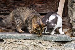 Rambo e Rocky (Aris Cereghetti) Tags: two pet cats pets animals cat furry kitten ar tiger adorable kitty kittens mao katze miao gatto aris catlover cere cereghetti