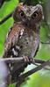 Sokoke Scops Owl (Rainbirder) Tags: kenya gedi watamu arabukosokokeforest sokokescopsowl otusireneae rainbirder