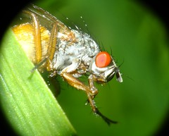 Macro flies . (steven.barker57) Tags: uk england macro eye up insect fly compound eyes close tiny hartlepool