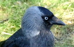 Thinker (gustaf wallen) Tags: bird nature crow blueeye cleverbird thinker portraitofthecleaverbird