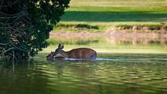 GoodMom (jmishefske) Tags: greenfield nikon water fawn doe 2016 pond whitetail wildlife lagoon westallis swimming wisconsin island july park d800e county deer milwaukee