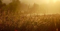 Basket of Light. (elam2010) Tags: morning trees light summer sunlight hot misty zeiss rural sunrise landscape dawn countryside sony farmland dew crops wirral heatwave sonyrx10