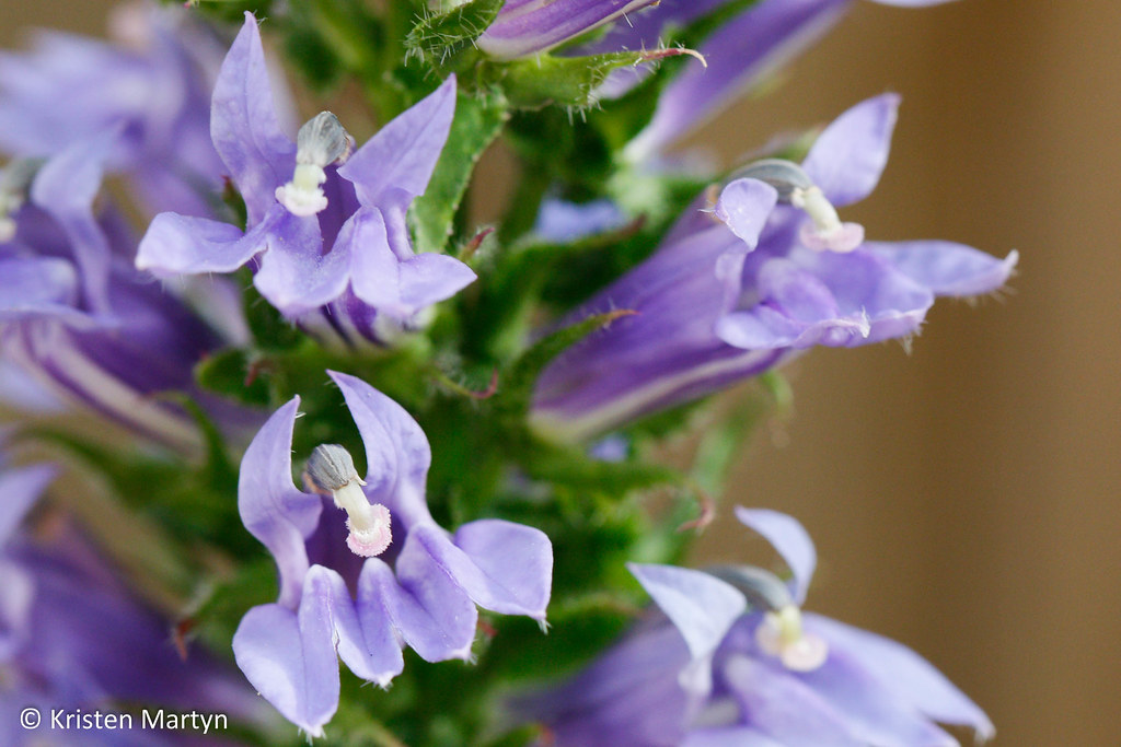 The Worlds Best Photos Of Lobelia And Ontario Flickr Hive Mind