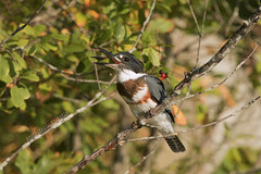 1C4A8327 copy (Photography by Ramin) Tags: kingfisher fishing snack ottawa wildbirds wildlife mud lake canada summer trees
