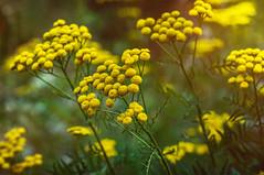 Tag 110 (Gitta Martin) Tags: rainfarn wildblume heilpflanze sommer sony alpha 57 gelb gewitter wurmbefall pflanze wegesrand bokeh korbblütler tanacetumvulgare giftpflanze flowers summer plant