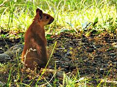 Eurasian Red Squirrel (tinlight7) Tags: squirrel redsquirrel eurasian alarcha kyrgyzstan taxonomy:kingdom=animalia animalia taxonomy:phylum=chordata chordata taxonomy:subphylum=vertebrata vertebrata taxonomy:class=mammalia mammalia taxonomy:order=rodentia rodentia taxonomy:family=sciuridae sciuridae taxonomy:subfamily=sciurinae sciurinae taxonomy:tribe=sciurini sciurini taxonomy:genus=sciurus sciurus taxonomy:species=vulgaris taxonomy:binomial=sciurusvulgaris scoiattolorosso  ekorre esquirolvermelleuropeu eichhrnchen eurasianredsquirrel sciurusvulgaris ecureuilroux ardillaroja rodeeekhoorn europischeseichhrnchen esquilovermelho esquilo scoiattolocomune orava taxonomy:common=scoiattolorosso taxonomy:common= taxonomy:common=ekorre taxonomy:common=esquirolvermelleuropeu taxonomy:common=eichhrnchen taxonomy:common=eurasianredsquirrel taxonomy:common=ecureuilroux taxonomy:common=ardillaroja taxonomy:common=rodeeekhoorn taxonomy:common=europischeseichhrnchen taxonomy:common=esquilovermelho taxonomy:common=esquilo taxonomy:common=scoiattolocomune taxonomy:common=orava