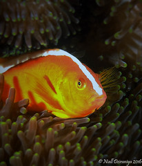 WATCHING ME WATCHING YOU_ (Niall Deiraniya Underwater Photography) Tags: nemo anenome anenomefish