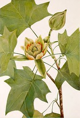 Tulip tree (1925) (Swallowtail Garden Seeds) Tags: illustration drawing sketch plant flowers vintage botanical leaves foliage publicdomain swallowtailgardenseeds tree branches buds flowerbud plate45 volume1 20thcentury 1920s flowering blooming green yellow lithograph liriodendron liriodendrontulipifera magnoliaceae botanicalillustration