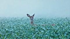 Well... Hello there. (Steve InMichigan) Tags: whitetaildeer deer fog beanfield morning