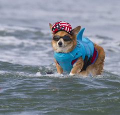 Just chilling out here for America (San Diego Shooter) Tags: dog dogs portrait sandiego imperialbeach surfer surfing dogsurfing