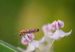 Ailanthus Webworm Moth -- EXPLORE (gwuphd) Tags: nikon 105mm f28 macro bug bokeh nature ailanthuswebwormmoth attevapunctella