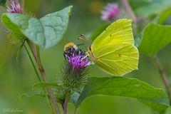 Zitronenfalter (MaikeJanina) Tags: lneburgerheide zitronenfalter schmetterling butterfly falter tagfalter gelb natur