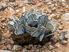 Silver-studded Blue & Turquoise Blues (chaz jackson) Tags: silverstuddedblue turquoiseblue plebejusargus polyommatusdorylas lycaenidae butterfly insect macedonia