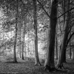 Rogate Common (Chalky666) Tags: mono tree trees wood woodland forest westsussex southdowns art autumn beech