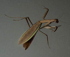 (_ormolu) Tags: mantis praying chinese bug insect mantid