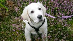 Charlie 14.5 weeks (Mark Rainbird) Tags: canon charlie dog garden powershots100 puppy retriever uk uftonnervet england unitedkingdom