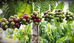 Buah (biji) Kopi (Hafid Wanala) Tags: kopi jangkat merangin sumberdaya alam lestari highlands datarantinggi