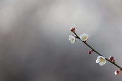 Plum blossom (tomoaki ooita) Tags:  plumblossom  flower  spring ef70300mmf456lisusm simple bokeh