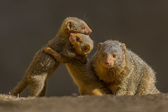 Sibling Play (San Diego Zoo Global) Tags: sandiegozooglobal2016 animals nature mongoose baby cute sandiegozoo conservation