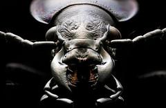 Studio stack: Nocturnal Predator (johnhallmen) Tags: insect macro coleoptera studio canon760d canonmpe65 zerenestacker cognisysstackshot