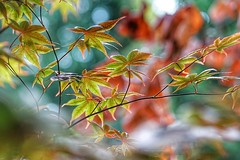 Maple leaves (JPShen) Tags: colorful nature bokeh leaves maple