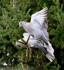 Le temps des amours... (valerierodriguez1) Tags: tourterelle turtledove oiseau bird nature sapin fir outside extrieur canon eos 7d