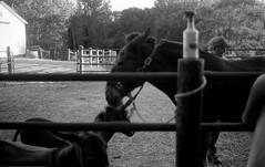 Saint Joseph, IL. 2016. (freedomflash) Tags: documentary leicam6 leicacamera leica nokton d76 trix mule blackandwhite farm film 35mm micahmccoy f12