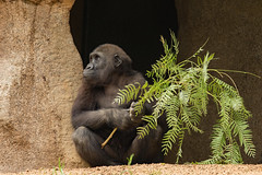 Joanne (ToddLahman) Tags: joanne babygorilla babyjoanne westernlowlandgorilla gorilla sandiegozoosafaripark safaripark canon7dmkii canon canon100400 browse lunch rain