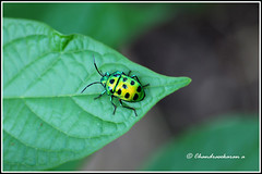 6503 - green jewel bug (chandrasekaran a) Tags: greenjewelbug jewelbug bugs nature india chennai canon60d tamron90mm macro