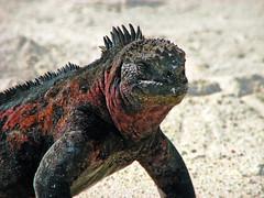marine iguana on beach at gardner bay - espaola island, galpagos 3 (Russell Scott Images) Tags: colourful marineiguanaamblyrhynchuscristatussspvenustissimus beach espaolaisland islaespaola hoodisland galpagos equator gardnerbay sand