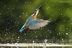 Empty Handed 1 (Ross Forsyth - tigerfastimagery) Tags: kingfisher wildlife nature free wild bird avian fisherman dumfries kirkcudbright spray splash scotland fantasticwildlife animalplanet